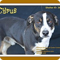 Adopt A Pet :: Cyrus - Plano, TX