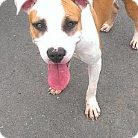 Adopt A Pet :: Calvin - Berlin, CT