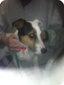 Jack Russell Terrier Puppy for adoption in Cardwell, Montana - Thomas