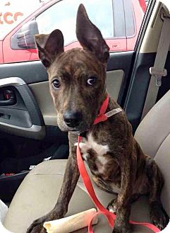 Boxer/Pit Bull Terrier Mix Puppy for adoption in Colebrook, Connecticut - Tyson