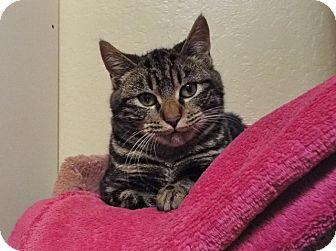 Domestic Shorthair Cat for adoption in Grants Pass, Oregon - Luke Skywalker