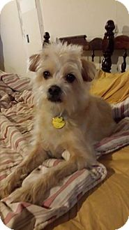Norfolk Terrier/Cairn Terrier Mix Dog for adoption in Bedminster, New Jersey - Martini