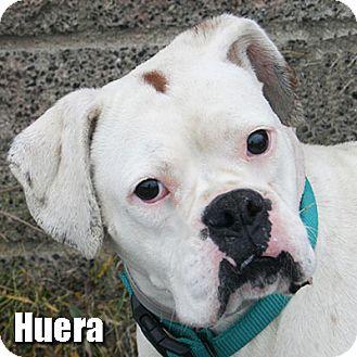 Boxer Dog for adoption in Encino, California - Huera