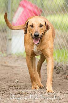 Hound (Unknown Type) Mix Dog for adoption in Havana, Florida - Brutus