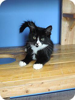 Domestic Mediumhair Cat for adoption in Brookings, South Dakota - Marty