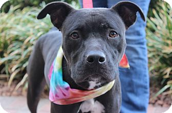 American Pit Bull Terrier Mix Dog for adoption in Las Vegas, Nevada - AMY LYNN