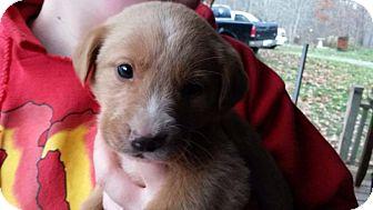 Labrador Retriever/Golden Retriever Mix Puppy for adoption in Lima, Pennsylvania - Hope