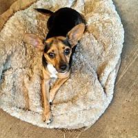 Adopt A Pet :: Chiquita - San antonio, TX