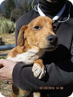 Jack Russell Terrier/Beagle Mix Puppy for adoption in Rutherfordton, North Carolina - Augie