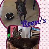 Adopt A Pet :: Reeses - Scottsdale, AZ