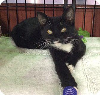 Domestic Shorthair Kitten for adoption in Breinigsville, Pennsylvania - Chase