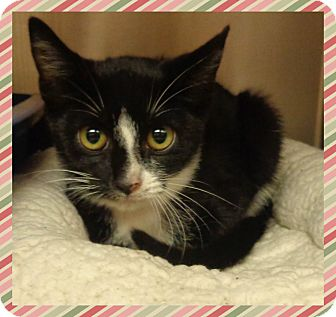 Domestic Shorthair Kitten for adoption in Marietta, Georgia - KAYLA (R)