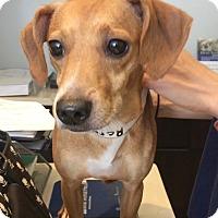 Adopt A Pet :: Rerun - Jupiter, FL