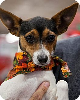 Rat Terrier Mix Puppy for adoption in Tijeras, New Mexico - Mochi