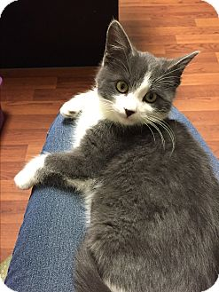 Domestic Shorthair Kitten for adoption in Woodstock, Ontario - Dutch