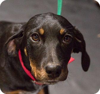 Hound (Unknown Type)/Hound (Unknown Type) Mix Puppy for adoption in Austin, Arkansas - Polly