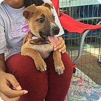 Adopt A Pet :: Baby Noel, Toy German Shepherd - Corona, CA