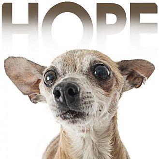 Chihuahua Dog for adoption in Fullerton, California - Hope