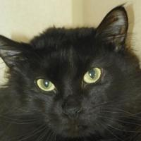 Domestic Mediumhair/Domestic Shorthair Mix Cat for adoption in Durango, Colorado - Isolde