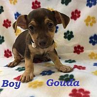 Adopt A Pet :: Gouda - sylmar, CA