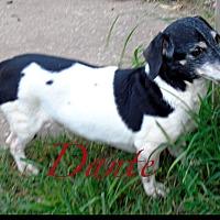 Dachshund Dog for adoption in Okmulgee, Oklahoma - Dante
