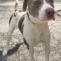 Adopt A Pet :: Viper - Charleston, WV