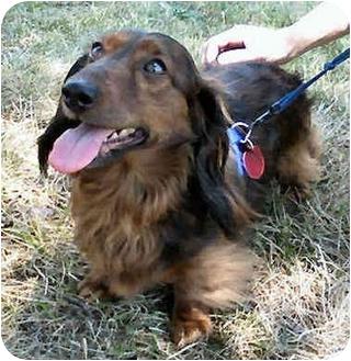 Dachshund Dog for adoption in Jacobus, Pennsylvania - Reese - NJ