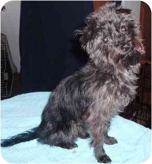 Yorkie, Yorkshire Terrier/Poodle (Toy or Tea Cup) Mix Dog for adoption in Osseo, Minnesota - Laredo
