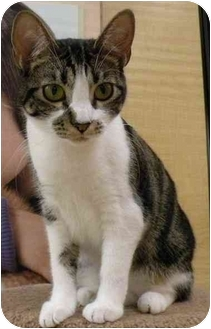 Domestic Shorthair Cat for adoption in Irvine, California - Hyla