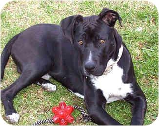 Labrador Retriever/American Pit Bull Terrier Mix Puppy for adoption in Berkeley, California - Buoy