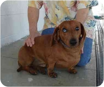 Dachshund Dog for adoption in Hayden, Idaho - Rudy