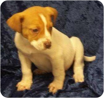Bluetick Coonhound/Beagle Mix Puppy for adoption in Brazil, Indiana - MURRY