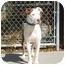 Photo 3 - American Staffordshire Terrier/Pit Bull Terrier Mix Dog for adoption in Austin, Minnesota - Geisha