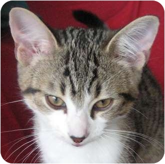Domestic Shorthair Kitten for adoption in Toronto, Ontario - Naughty