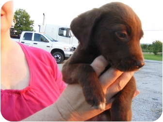 Labrador Retriever Mix Puppy for adoption in Rochester, New Hampshire - Nutmeg