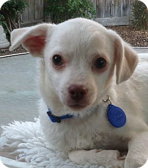 Terrier (Unknown Type, Small)/Jack Russell Terrier Mix Puppy for adoption in Studio City, California - Alexandar