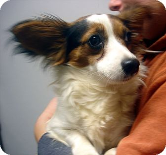 Papillon Mix Dog for adoption in Greencastle, North Carolina - Ruby