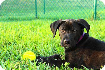 Labrador Retriever Mix Puppy for adoption in Davie, Florida - Koda