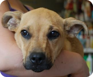 Labrador Retriever Mix Puppy for adoption in Brooklyn, New York - Sprouts