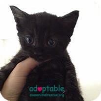 Domestic Mediumhair Kitten for adoption in Edmonton, Alberta - Lilly