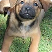 Adopt A Pet :: Callie - Justin, TX