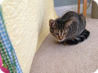 Domestic Shorthair Kitten for adoption in Homewood, Alabama - Xerxes