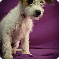 Adopt A Pet :: Calliope - Broomfield, CO