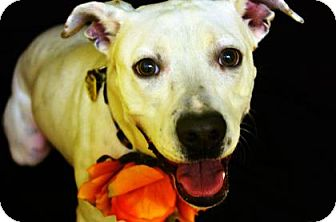 Pit Bull Terrier Mix Dog for adoption in Fort Smith, Arkansas - Boo