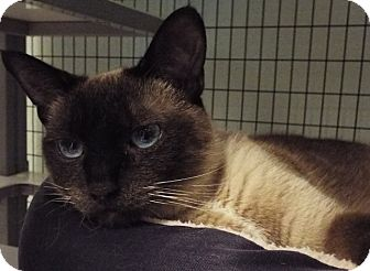 Siamese Cat for adoption in Grants Pass, Oregon - Josie
