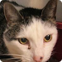 Domestic Shorthair Cat for adoption in Elmira, New York - Thaddeus