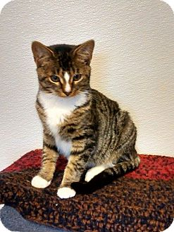 Domestic Shorthair Kitten for adoption in Springfield, Vermont - Draco