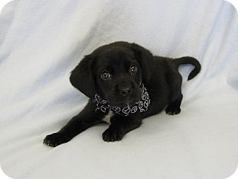Labrador Retriever Mix Puppy for adoption in Groton, Massachusetts - Brink