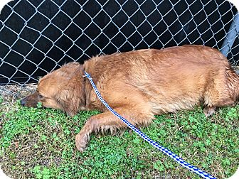 Irish Setter/Golden Retriever Mix Dog for adoption in Mount Holly, New Jersey - Dorothy