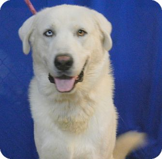 Great Pyrenees/Akbash Mix Dog for adoption in Granite Bay, California - OSO